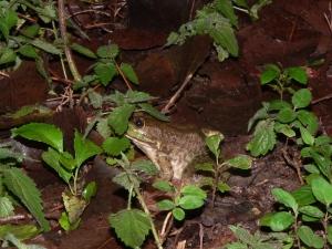 Meerwald frog